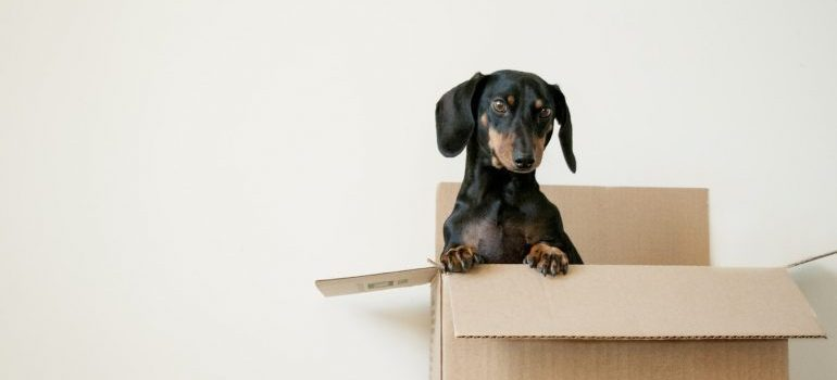 A puppy inside a moving box